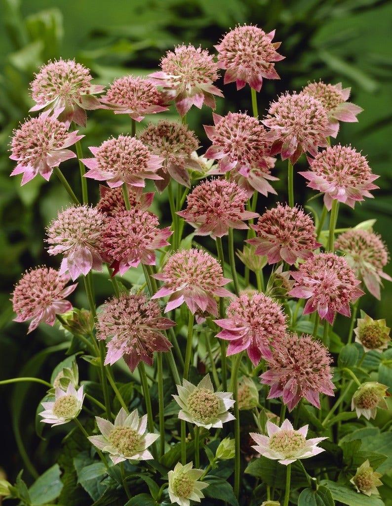 Zeeuws knoopje (Astrantia major 'Rosea') - P9. Kleur: roze