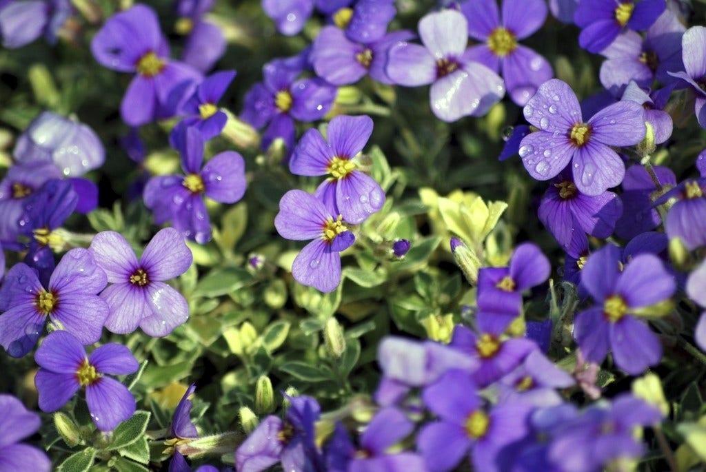 Blauwkussen (Aubrieta 'Argenteovariegata'). Kleur: paars