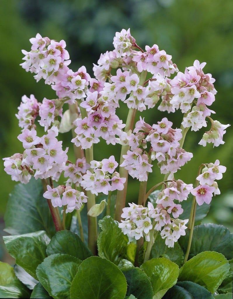 Schoenlappersplant (Bergenia 'Baby Doll'). Kleur: roze