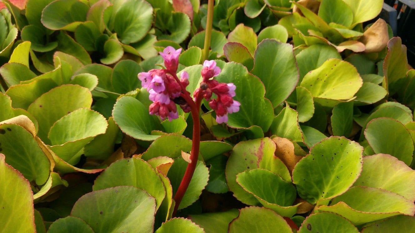 Schoenlappersplant (Bergenia cordifolia). Kleur: roze