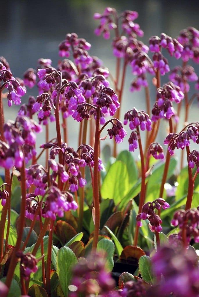 Schoenlappersplant (Bergenia 'Wintermarchen') - P9. Kleur: rood