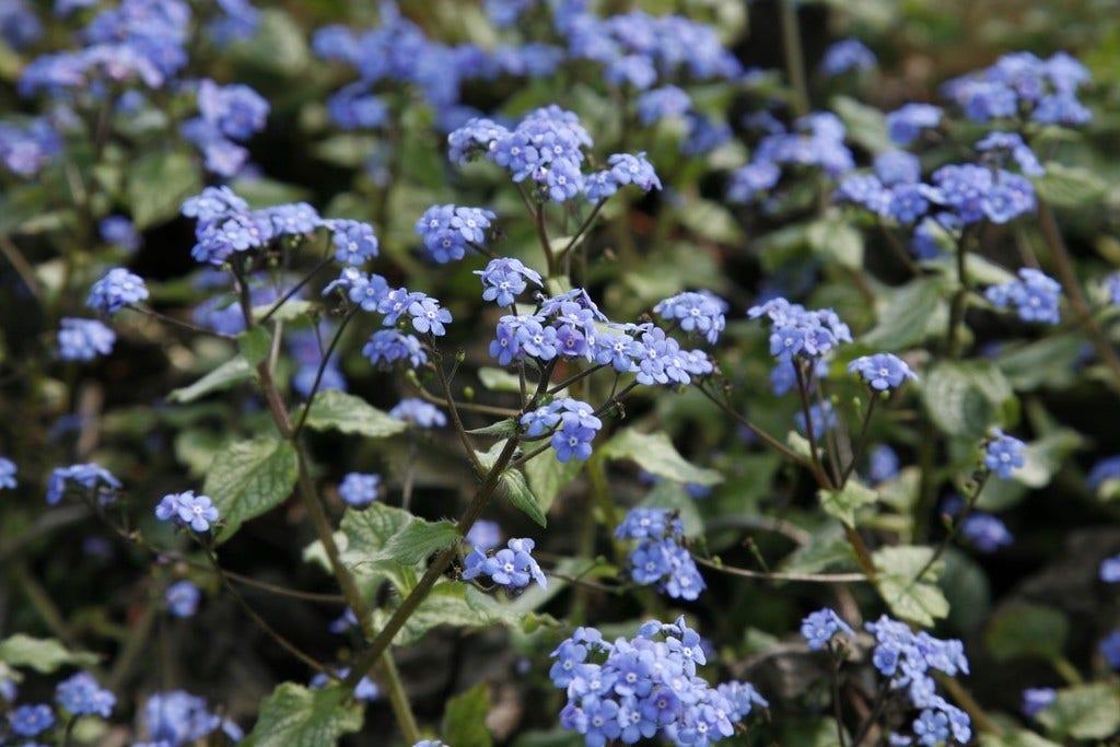 Kaukasische vergeet-me-niet (Brunnera macrophylla 'Jack Frost') - P9. Kleur: blauw