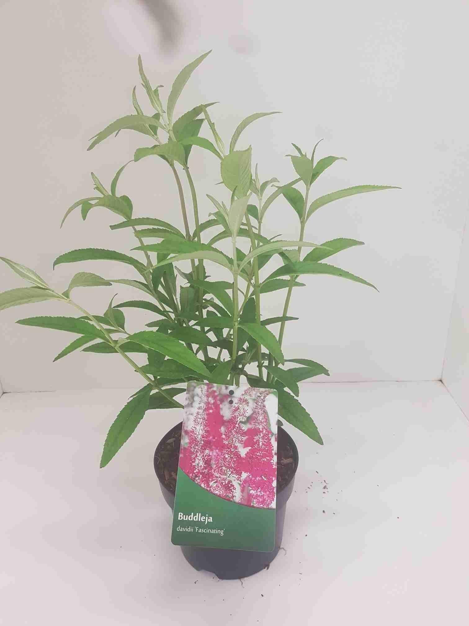 Vlinderstruik (Buddleja 'Fascinating')-Plant in pot-40/60 cm. Kleur: roze