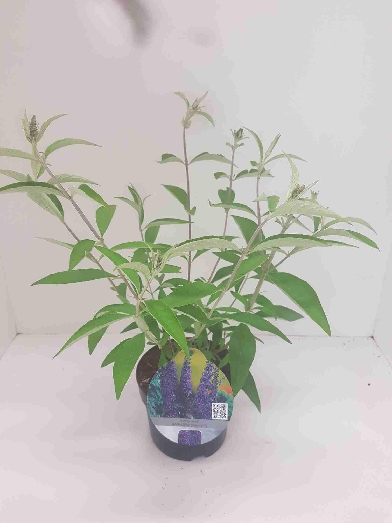 Vlinderstruik (Buddleja davidii 'Adonis Blue')-Plant in pot-40/60 cm