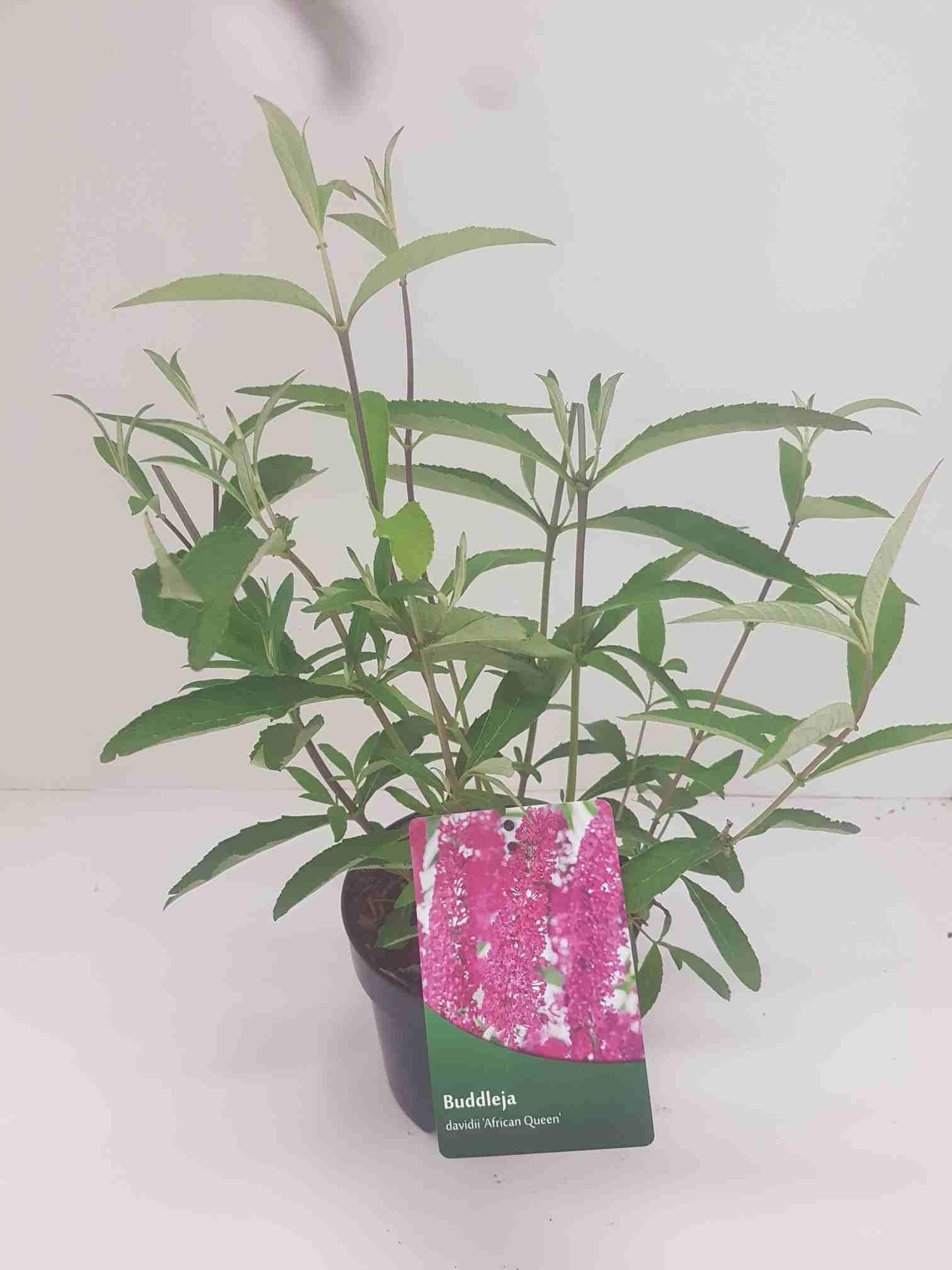 Vlinderstruik (Buddleja davidii 'African Queen')-Plant in pot-40/60 cm. Cm: 150. Kleur: paars