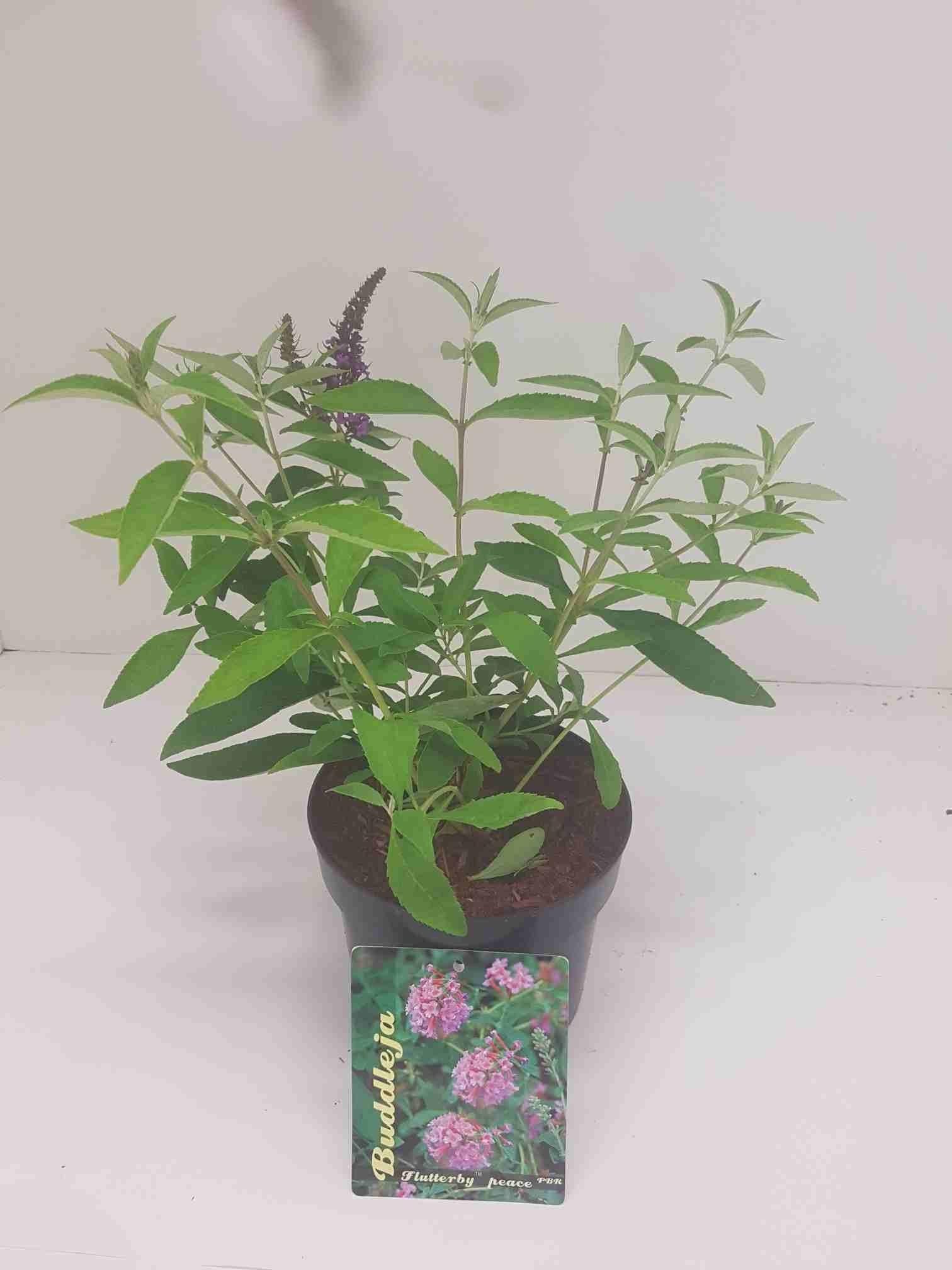 vlinderstruik (Buddleja davidii 'Flutterby Peace')-Plant in pot-40/60 cm