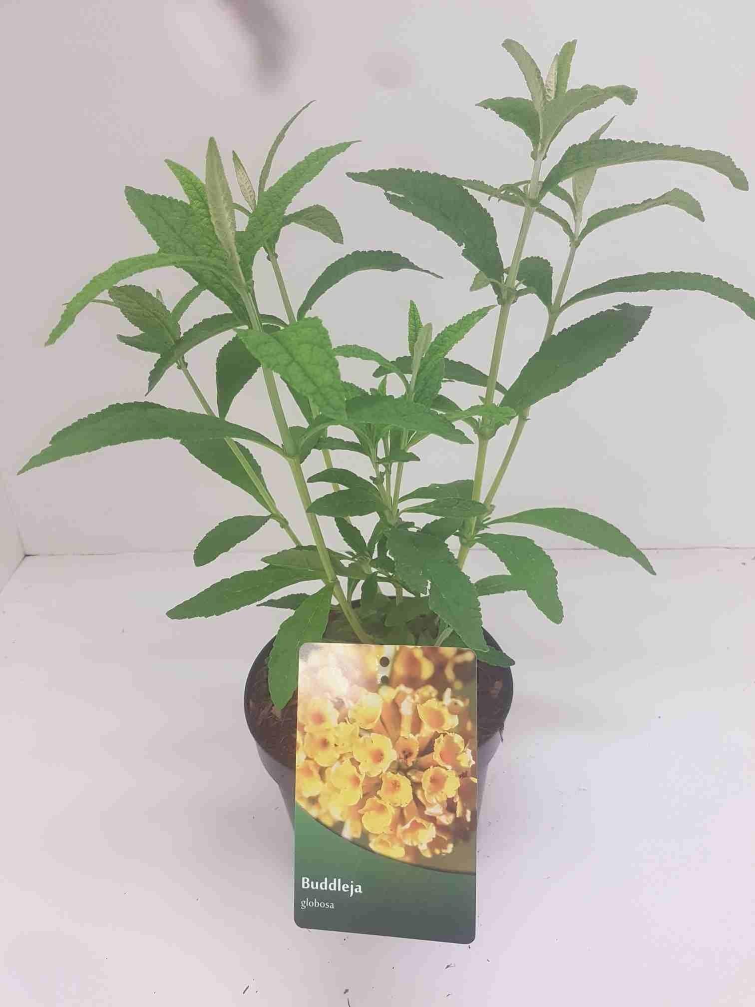 Vlinderstruik (Buddleja 'Globosa')-Plant in pot-30/40 cm. Cm: 150