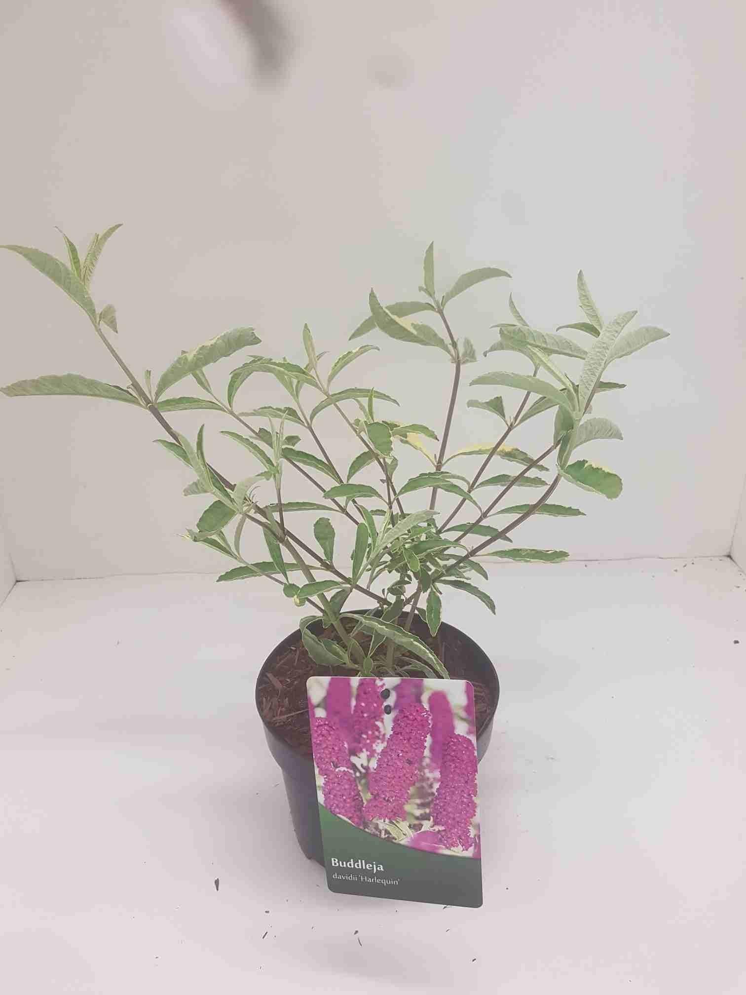 Vlinderstruik (Buddleja davidii 'Harlequin')-Plant in pot-40/60 cm. Kleur: paars