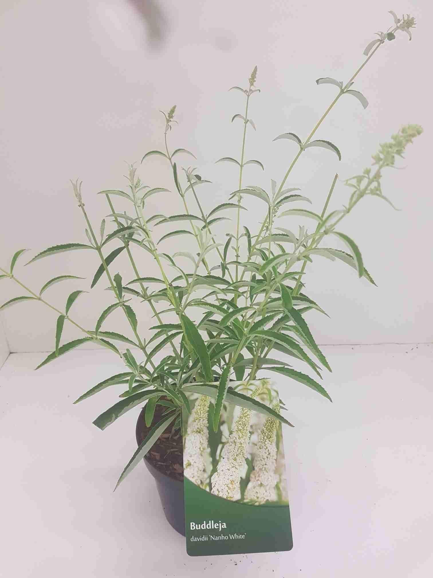 Vlinderstruik (Buddleja davidii 'Nanho White')-Plant in pot-40/60 cm. Kleur: wit