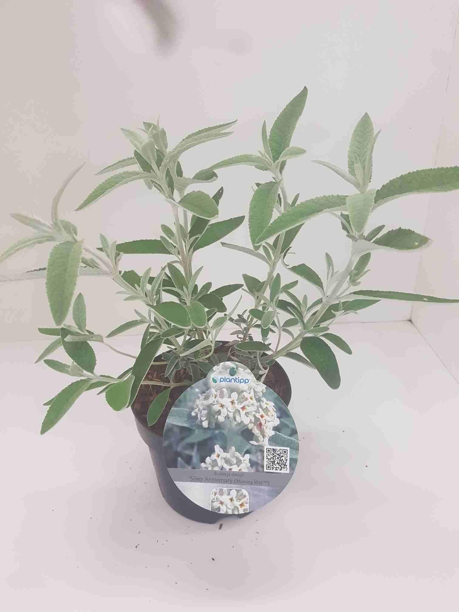 Vlinderstruik (Buddleja 'Silver Anniversary')-Plant in pot-40/60 cm. Kleur: wit