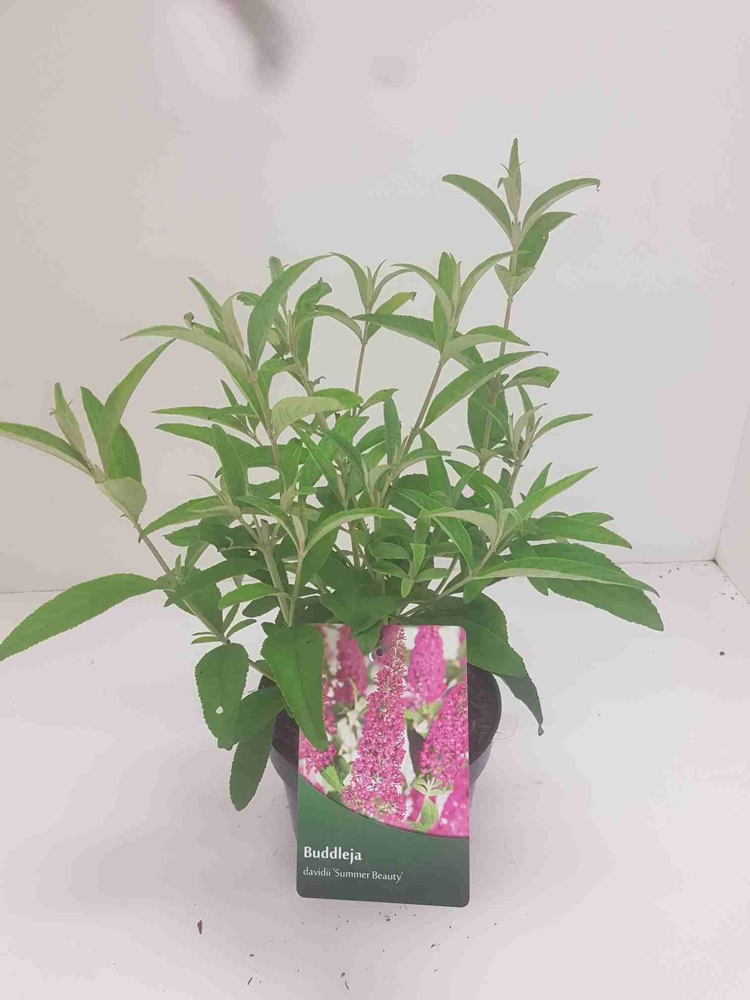 Vlinderstruik (Buddleja 'Summer Beauty')-Plant in pot-40/60 cm. Kleur: paars