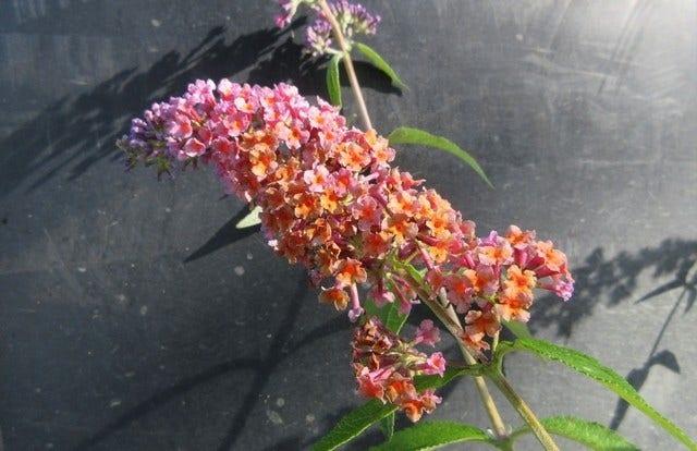 Vlinderstruik (Buddleja 'Flower Power')-Plant in pot-30/40 cm. Cm: 250