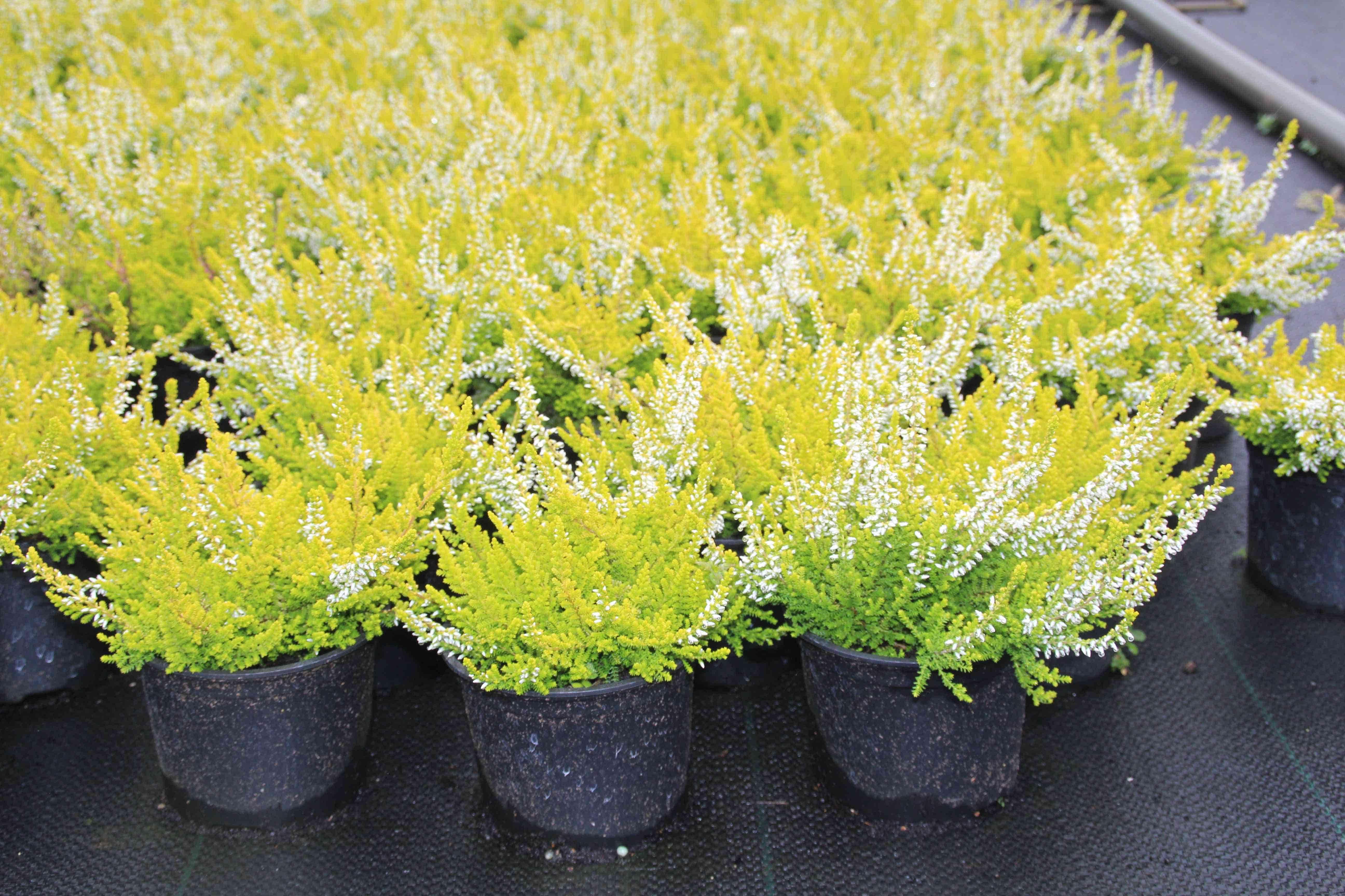 Struikheide (Calluna vulgaris 'Anouk') P12. Kleur: wit