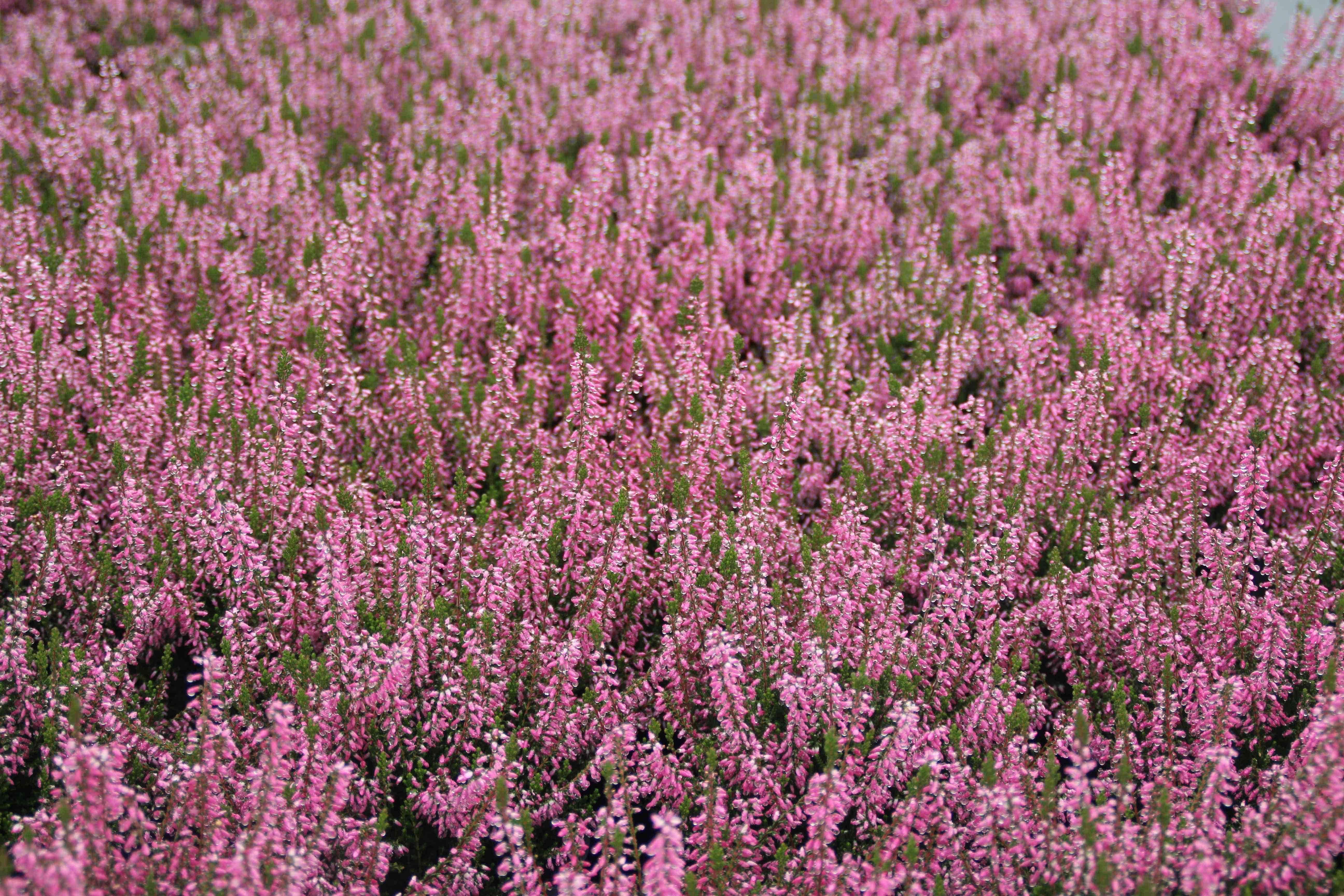 Struikheide (Calluna vulgarens 'Mignon') 15/20 cm. Kleur: roze