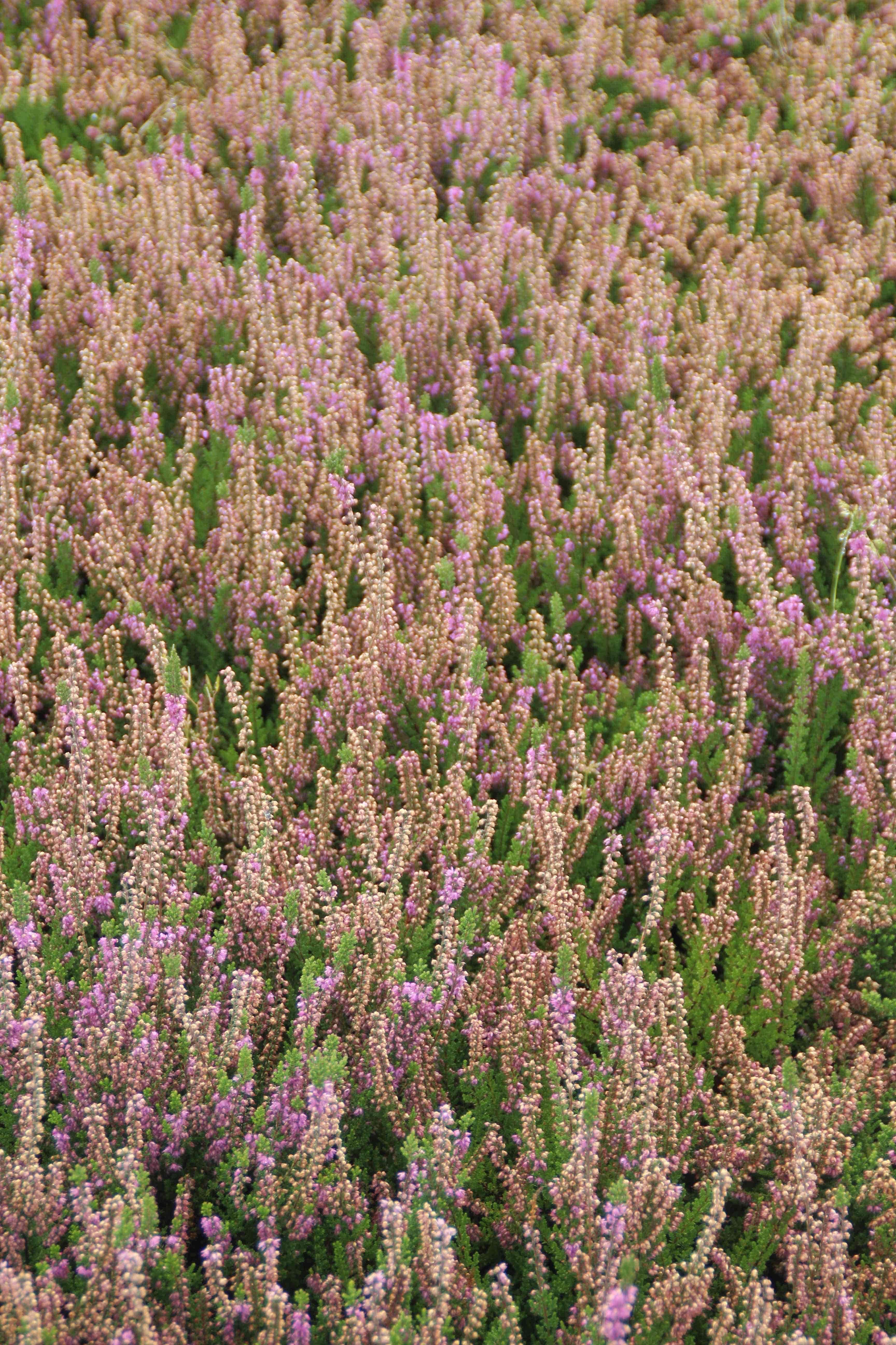 Struikheide (Calluna vulgaris 'Mullion') 15/20 cm. Kleur: paars