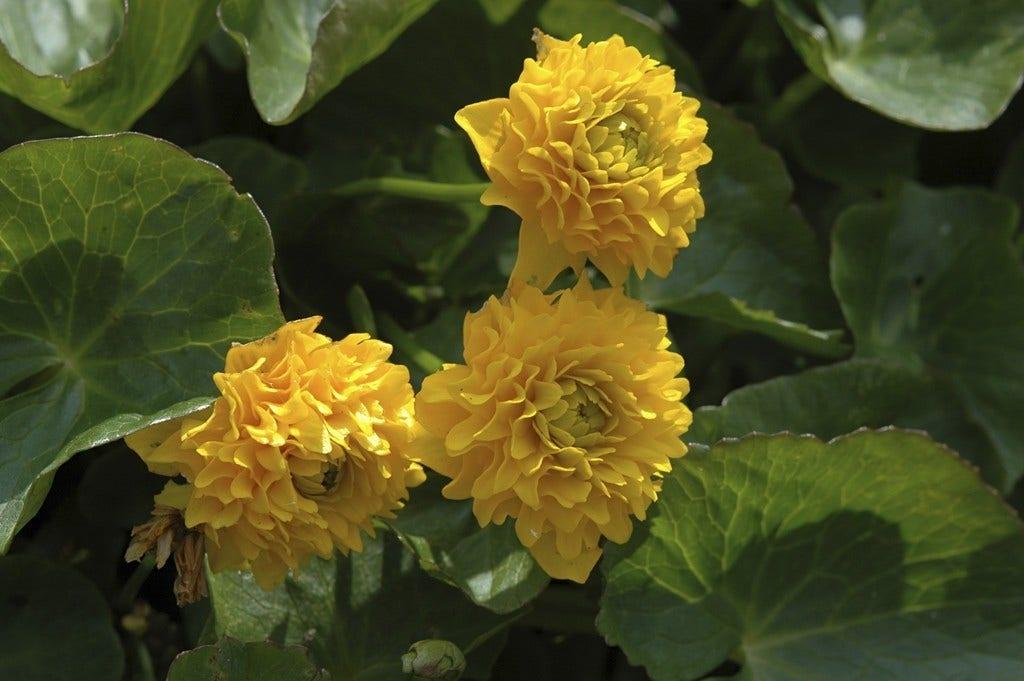 Dubbele Dotterbloem (Caltha palustris 'Plena' ). Kleur: geel