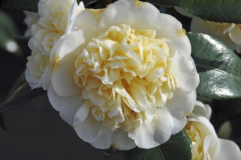 Camelia (Camellia japonica 'Alba Plena')-Plant in pot-30/40 cm. Kleur: wit