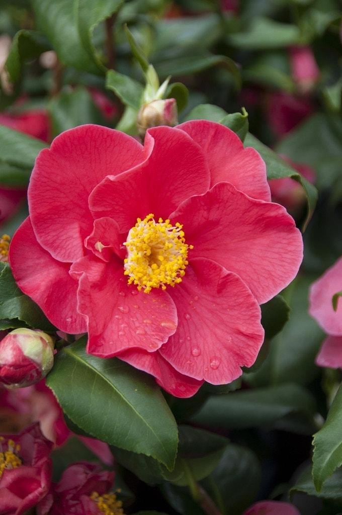 Camelia (Camellia japonica 'Dr. King')-Plant in pot-60/70 cm. Kleur: rood