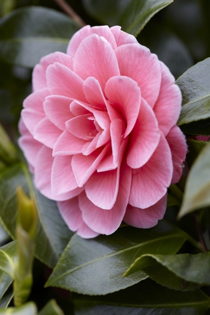 Camelia (Camellia japonica 'Tiffany')-Plant in pot-70/80 cm