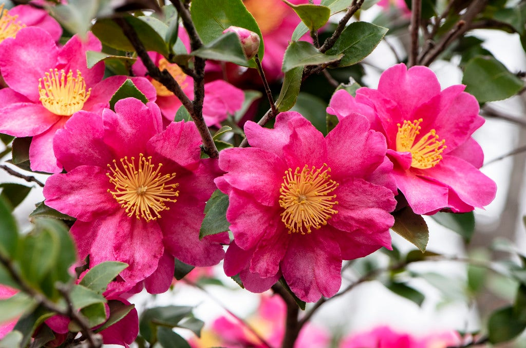 Camelia (Camellia sasanqua 'Kanjiro')-Plant in pot-100/125 cm. Kleur: roze
