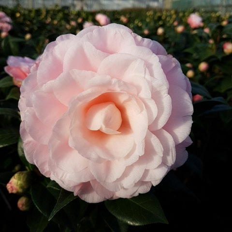Camelia (Camellia japonica 'Nuccio's Cameo')-30/40 cm-Plant in pot. Kleur: roze