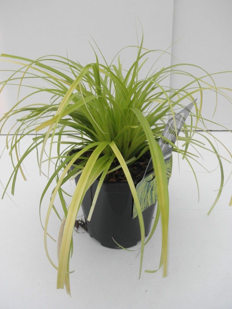 Zegge (Carex 'Everillo') C2