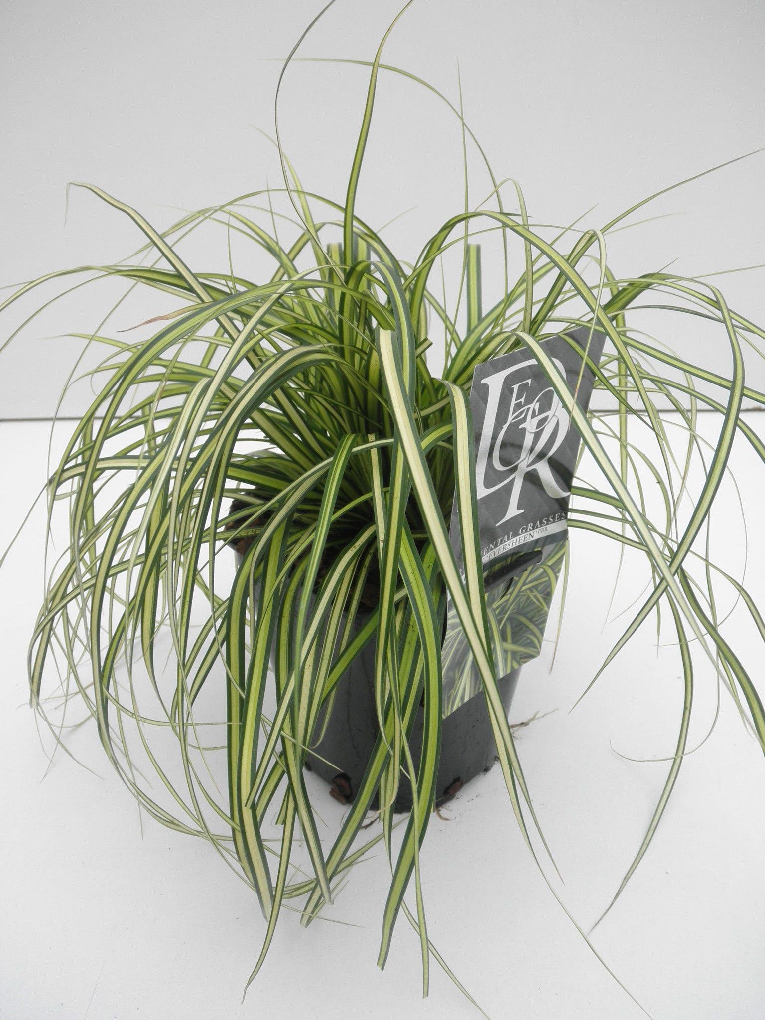 Zegge (Carex Eversheen)-Plant in pot-C2