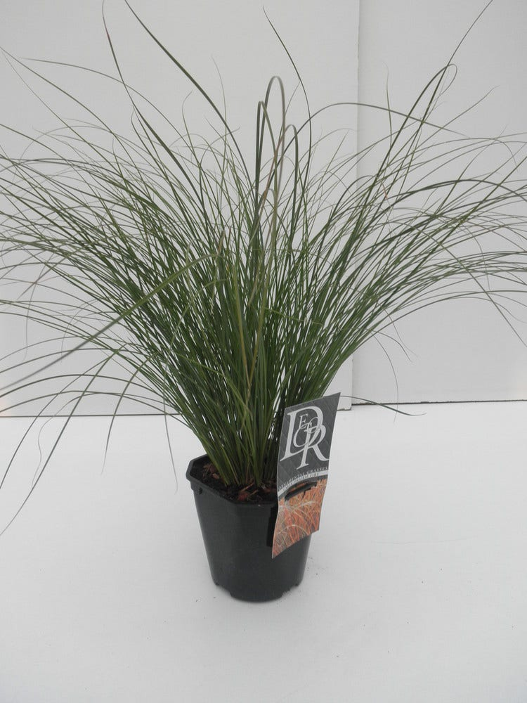 Zegge (Carex 'Prairie Fire') C2