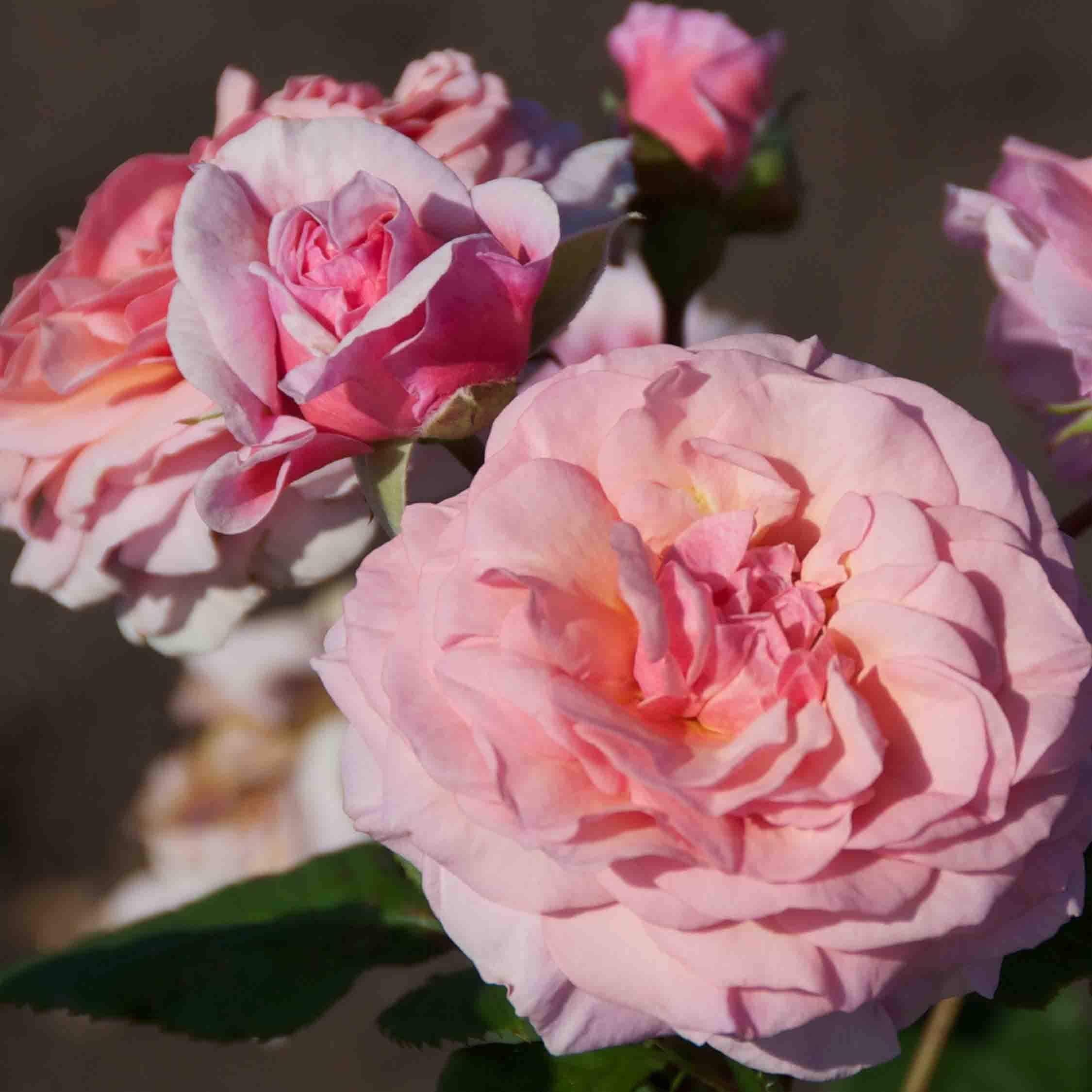 Heesterroos (Rosa 'Fisser Carminia')-Plant in pot-Container pot. Kleur: roze
