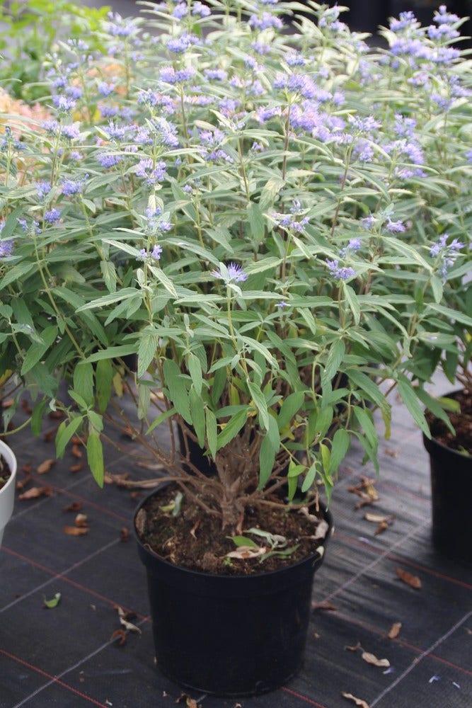 Caryopteris (Caryopteris clandonensis 'Blue Empire') 40/50 cm
