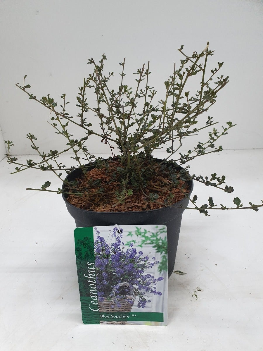 Amerikaanse sering (Ceanothus 'Blue Sapphire')-20/25 cm-Plant in pot. Kleur: blauw