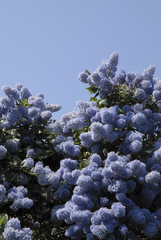 Amerikaanse Sering (Ceanothus impressus 'Victoria')-Plant in pot-40/50 cm. Kleur: blauw