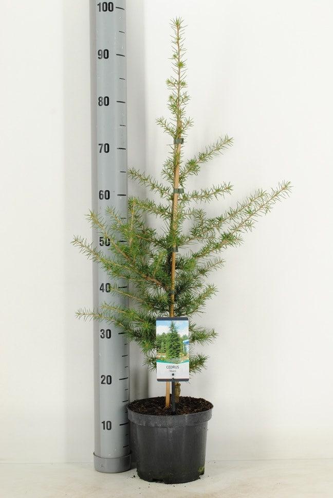 Libanonceder (Cedrus libani) 60/80 cm