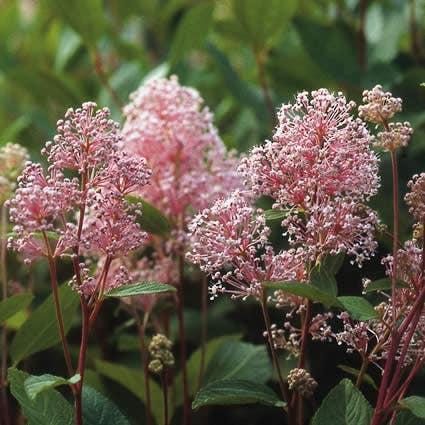 Amerikaanse sering (Ceanothus 'Marie Simon')-Plant in pot-40/50 cm. Kleur: roze