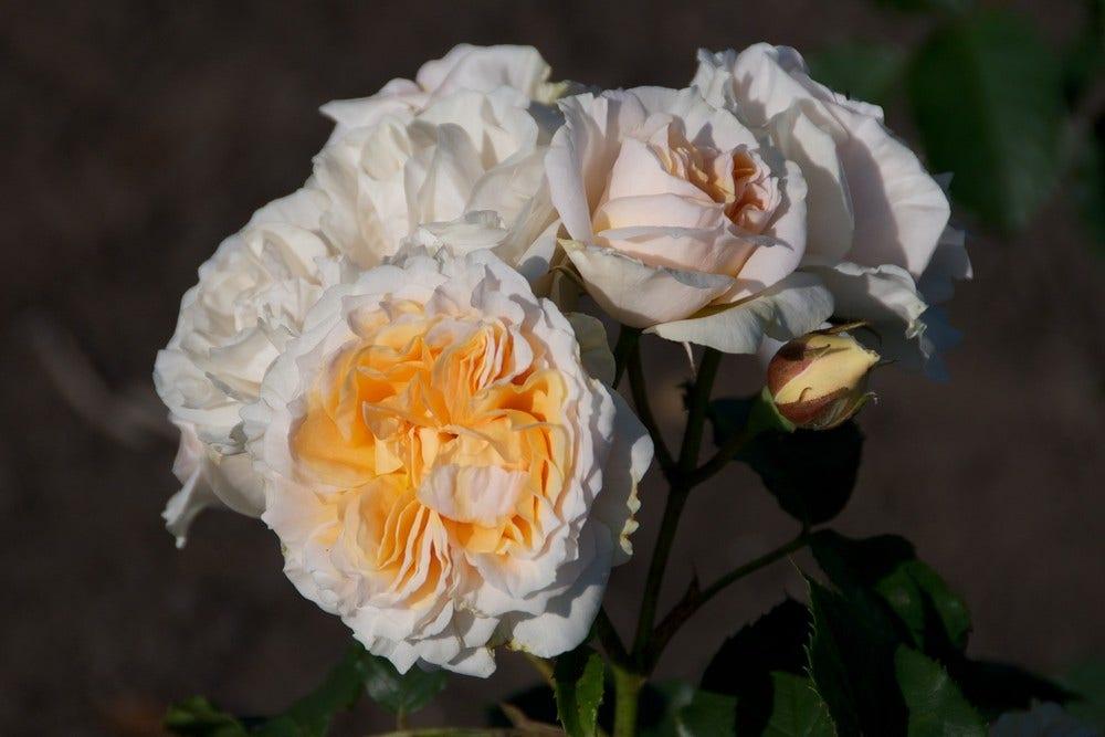Heesterroos (Rosa 'Fisser Chiardina')-Plant in pot-Container pot
