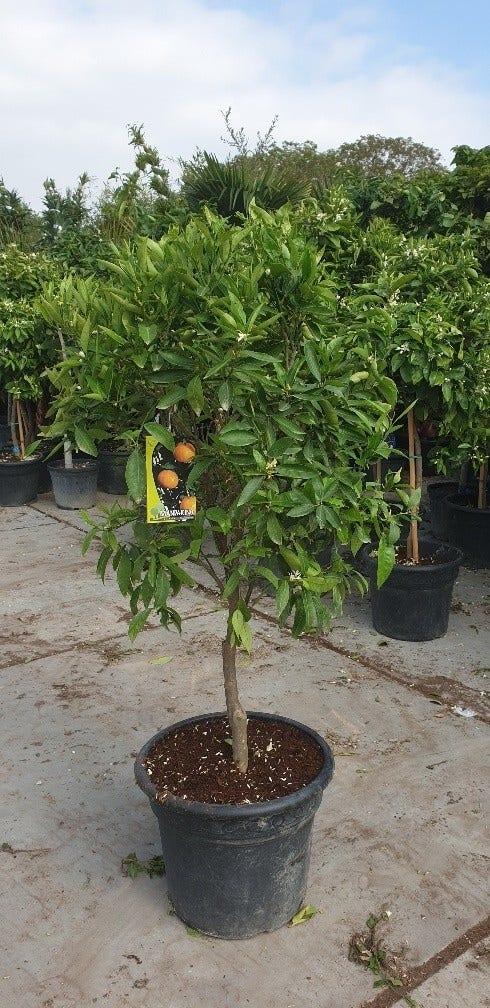 Citrus reticulata (Mandarijn)-Plant in pot-80 cm stam