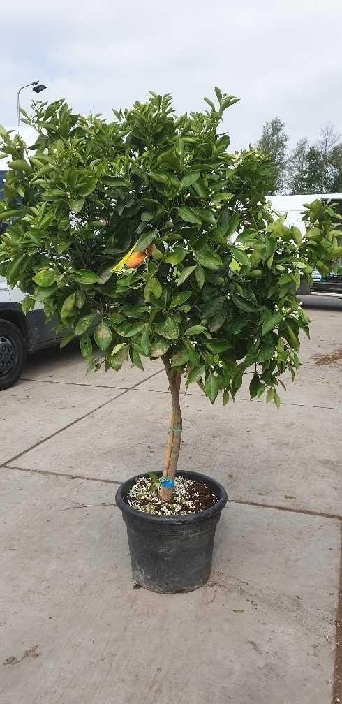 Citrus sinensis (Sinaasappel)-Plant in pot-80 cm stam. Kleur: wit