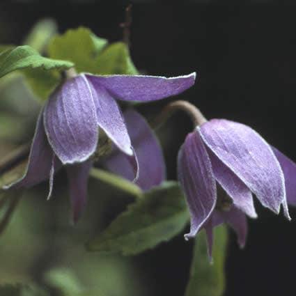Bosrank (Clematis alpina)-Plant in pot-150/175 cm