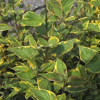 Kornoelje (Cornus alba 'Gouchaultii') - 50/60 cm.. Kleur: wit