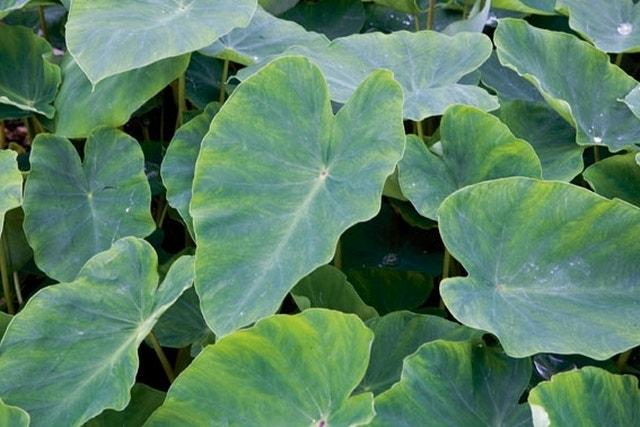 Olifantsoor (Colocasia esculenta)-Plant in pot-P11 mand