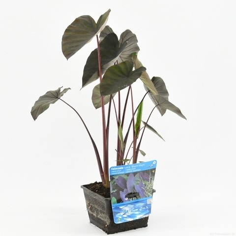Olifantsoor (Colocasia rubra 'Black Magic')-Plant in pot-P11 mand