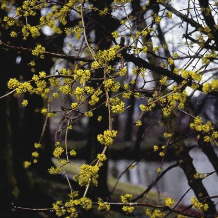 Kornoelje (Cornus mas) - 50/80 cm. Kleur: geel