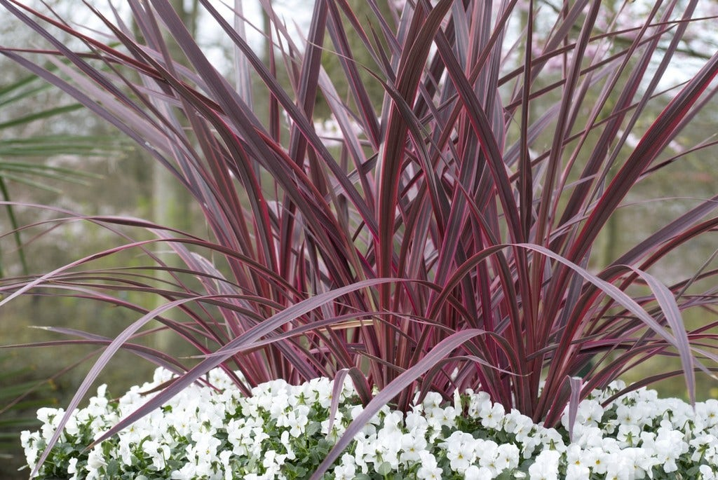 Cordyline (Cordyline 'Can Can')-Plant in pot-C18