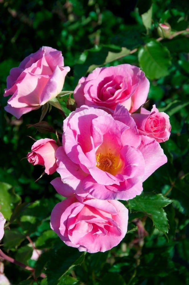 Trosroos (Rosa 'Cornelis Vreeswijk') Container pot. Kleur: roze