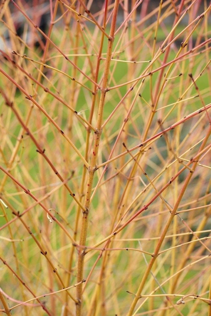 Kornoelje (Cornus sanguinea 'Winter Beauty)-Plant in pot-60/80 cm. Kleur: wit