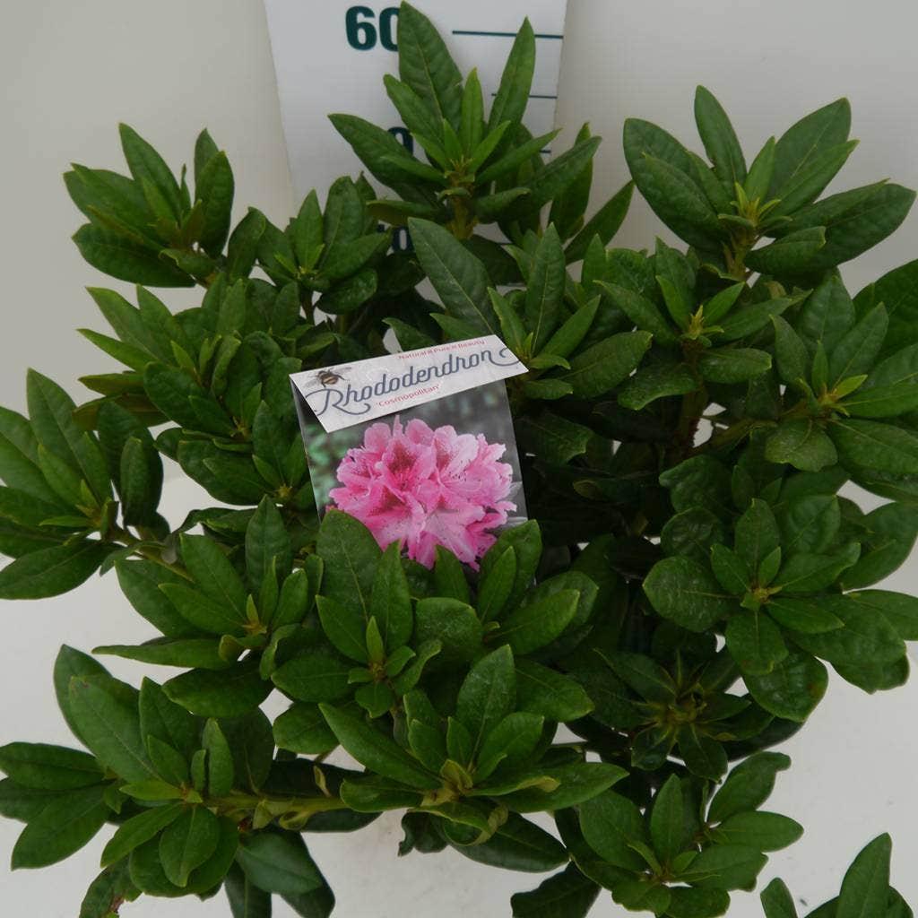 Rhododendron (Rhododendron 'Cosmopolitan')-Plant in pot-50/60 cm. Kleur: roze