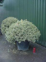 Bonte hulst in bolvrom (Ilex aquifolium 'Silver Queen' )