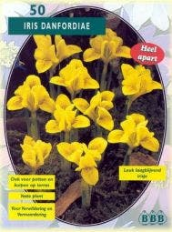 Iris (Iris 'Danfordiaea')