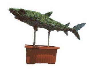 Shark (Ligustrum delavayanum)