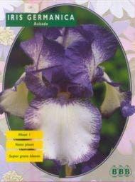 Iris (Iris White, Light Blue)